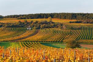Autumnal vineyards, Neckenmarkt, Mittelburgenlandの写真素材 [FYI02340652]