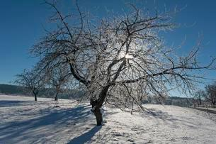 Cherry tree (Prunus) with hoarfrost in backlight, Middleの写真素材 [FYI02340661]