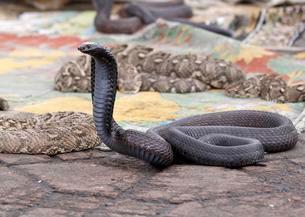 Indian cobra (Naja naja) belonging to snake charmer, Jemaaの写真素材 [FYI02340664]