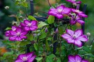 Pink Clematis flower (Clematis), Quebec, CanadaQuebecの写真素材 [FYI02340672]