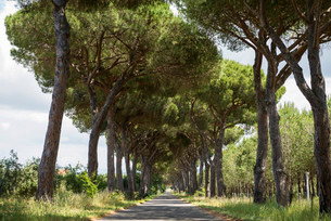Pine avenue, Natural Park of Maremma, at Grosseto, Tuscanyの写真素材 [FYI02340678]