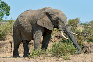 African Bush Elephant (Loxodonta africana), Maasai Maraの写真素材 [FYI02340686]