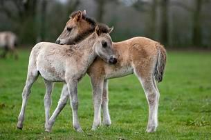 Dulmen pony, two foals cuddling, Dulmen, Northの写真素材 [FYI02340708]