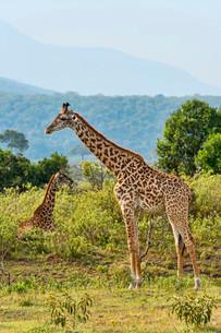 Giraffes (Giraffa camelopardalis), Arusha Region, Tanzaniaの写真素材 [FYI02340713]