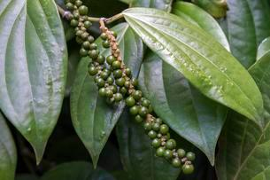 Peppercorns on pepper plant (Piper nigrum), Mahe Islandの写真素材 [FYI02340719]