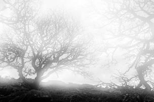 Ancient oaks in the fog in Wistmans Wood, Dartmoor Nationalの写真素材 [FYI02340720]
