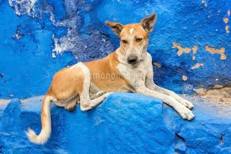 Street dog resting, Jodphur, Rajasthan, India, Asiaの写真素材 [FYI02340721]