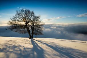 Wind-bent beeches at sunset in winter, Schauinsland, nearの写真素材 [FYI02340725]