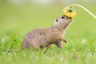 Suslik (Spermophilus citellus) sniffing dandelionsの写真素材 [FYI02340730]