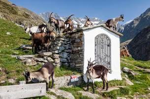 Goats by a small chapel, Zieltal below Sattelspitz Meranerの写真素材 [FYI02340733]