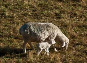 Domestic sheep (Ovis aries), ewe with newborn lamb inの写真素材 [FYI02340745]