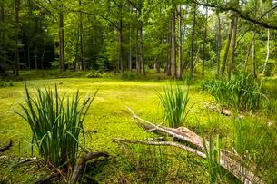 Bog forest with deadwood and water flag (Iris pseudacorus)の写真素材 [FYI02340782]