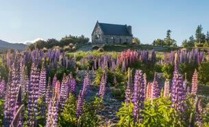 Lila Large-leaved lupines (Lupinus polyphyllus), Church ofの写真素材 [FYI02340783]