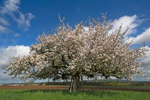 Apple tree (Malus domestica) in blossom, Bavaria, Germanyの写真素材 [FYI02340794]