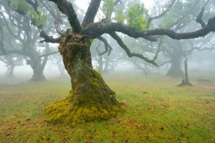 Old laurel forest or Laurissilva Forest, stinkwood (Ocoteaの写真素材 [FYI02340814]