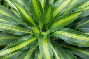 Dracaena fragans (Dracaena fragans), detail, Bora Boraの写真素材 [FYI02340842]