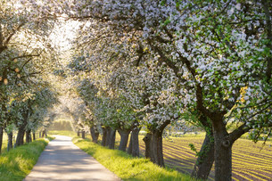 Mainradweg, bike path along the Main, lined with blossomingの写真素材 [FYI02340856]