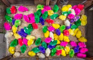 Colourful dyed chicks, little chickens, bird marketの写真素材 [FYI02340857]