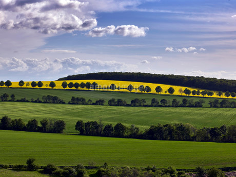 Hilly landscape with rapeseed fields, Flonheimの写真素材 [FYI02340860]