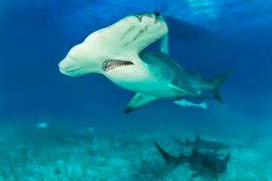 Great hammerhead shark (Sphyrna mokarran) with nurseの写真素材 [FYI02340867]