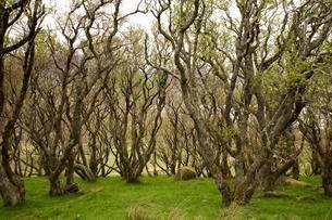 Alder forest, near Brogaig, Island Sky, Scotland, Unitedの写真素材 [FYI02340868]