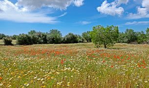 Flowers in meadow, common poppies (Papaver rhoeas) andの写真素材 [FYI02340876]