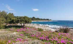 Ice plant (Delosperma cooperi), cuna bay, Dugi Otok, Veliの写真素材 [FYI02340881]