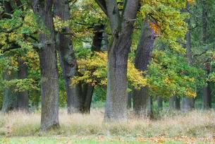 Oak forest (Quercus robur) in autumn, Emsland, Lowerの写真素材 [FYI02340888]