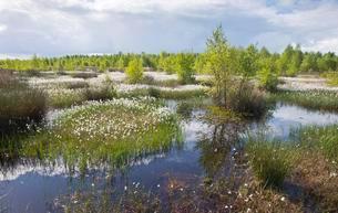 Cotton grass in moor (Eriophorum angustifolium), Emslandの写真素材 [FYI02340895]