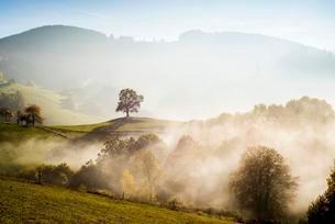 Solitary oak, English oak (Quercus robur) in autumn fogの写真素材 [FYI02340897]