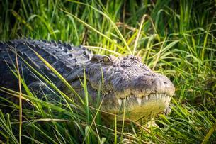 Nile crocodile (Crocodylus niloticus) in grass, Okavangoの写真素材 [FYI02340904]