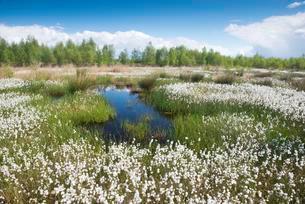 Cotton grass in moor (Eriophorum angustifolium), Emslandの写真素材 [FYI02340911]
