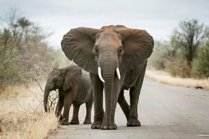 African elephant (Loxodonta africana), mother with young onの写真素材 [FYI02340936]