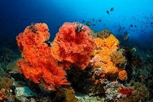 Coral colony, fish, invertebrates, stony coral, soft coralの写真素材 [FYI02340946]