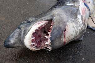 Longfin mako shark (Isurus paucus) on ground, open mouthの写真素材 [FYI02340947]