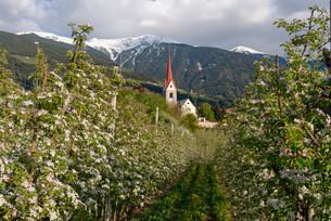 Apple orchard, behind the Plose, Eisacktal, Elvas, Brixenの写真素材 [FYI02340948]