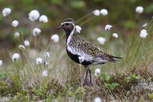 Golden plover (Pluvialis apricaria) in tundra, tussockの写真素材 [FYI02340966]
