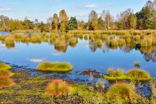 Moor pond with lakeshore bulrushes (Schoenoplectusの写真素材 [FYI02340968]