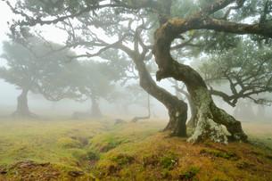 Old laurel forest or Laurissilva Forest, stinkwood (Ocoteaの写真素材 [FYI02340994]