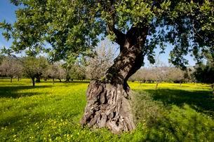 Evergreen Oak (Quercus ilex) on flowering clover meadowの写真素材 [FYI02341000]