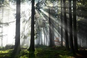 Rays of sunlight shining through trees in fog, spruceの写真素材 [FYI02341009]