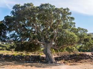 Cork Oak (Quercus suber), Corsica, France, Europeの写真素材 [FYI02341021]