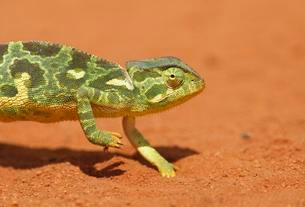 Flap-necked chameleon (Chamaeleo dilepis), on red dirtの写真素材 [FYI02341024]