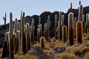 Cacti (Echinopsis atacamensis), Isla Incahuasi or Isla delの写真素材 [FYI02341041]