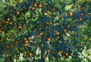 Orange tree with fruits, Soller, Serra de Tramuntanaの写真素材 [FYI02341058]