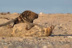 Grey Seals (Halichoerus grypus), male and female duringの写真素材 [FYI02341071]