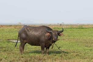 Water buffalo (Bubalus arnee), pegged on pasture, Districtの写真素材 [FYI02341102]