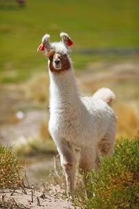 Llama (Lama glama), Jujuy Province, Argentina, South Americaの写真素材 [FYI02341108]