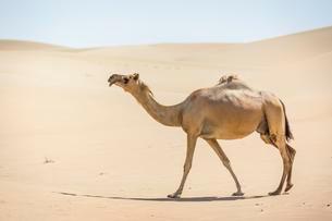 Dromedary (Camelus dromedarius) in sand dunes, Rub' alの写真素材 [FYI02341127]
