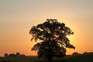Large oak tree (Quercus), backlit at sunsetの写真素材 [FYI02341140]